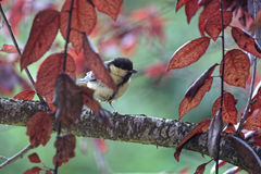 The great tit through the branches Royalty Free Stock Image