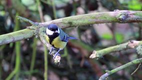 Great tit, Parus major, perched on branch just before flying away. Great tit, Parus major, perched on branch just before flying away, scotland stock video