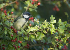 Great Tit (Parus major) Stock Photography