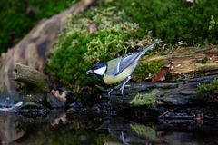 Great Tit, Parus major, perched on a ledge at pond royalty free stock image