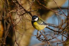 Great Tit (Parus Major). Great Tit perched on a twiggy, leafless branch. Picture taken in Gloucestershire, England in January Royalty Free Stock Photo
