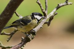 Great tit parus major. Portrait of a great tit parus major perching on a branch royalty free stock images