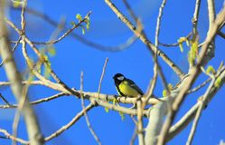 A great tit Parus major singing in a tree. royalty free stock photos