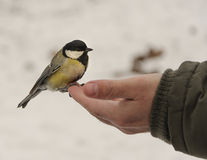 Great tit Parus major sits on hand and eats seeds Royalty Free Stock Photo
