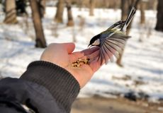 Great tit Parus major sits on hand and eats seeds Royalty Free Stock Photos