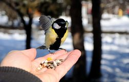 Great tit Parus major sits on hand and eats seeds Royalty Free Stock Image