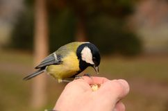 Great tit Parus major sits on hand and eats seeds Stock Images