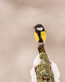 Great Tit perched on a log Royalty Free Stock Photo