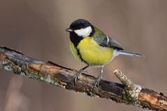 Great tit sits on an old branch: very close, can see every feather, glare in the eye. royalty free stock photos