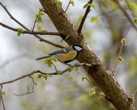 The Great tit or Parus major stock photo