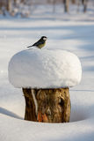 Great tit on snow capped tree stump. Great tit Parus major sitting on a snow capped tree stump Stock Images