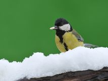 Parus major in the snow. Stock Photos