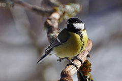 The great tit, Parus major Stock Images