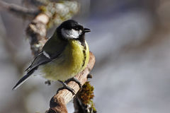 The great tit, Parus major royalty free stock photography