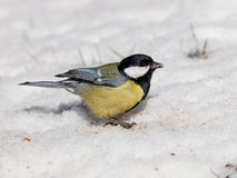 Great tit (Parus major) on snow Stock Image
