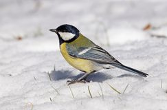 Great tit (Parus major) on snow Stock Photography