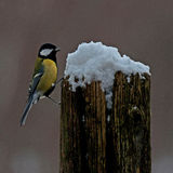 Great tit Parus major on a snowy stump Stock Image