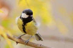 Great tit (Parus major). Great tit (Parus major) standing on a branch royalty free stock photography