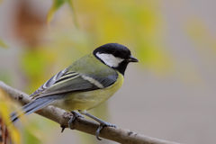 Great tit (Parus major). Stock Images