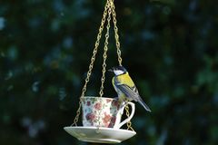 Great-tit, Parus-major, at a cup and saucer bird feeder royalty free stock photography