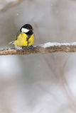 Great tit (Parus major) on a tree branch during winter Royalty Free Stock Photos