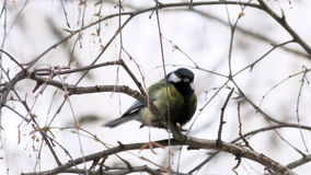 Great Tit stock video