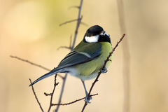 Great Tit (Parus major) on the twig. The Great Tit (Parus major) on the twig with a snowy beak stock photography