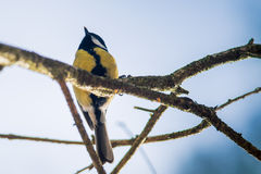 Great tit parus Stock Images