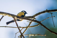Great tit parus Stock Photos