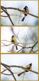 Great tit parus Royalty Free Stock Image