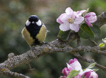 Great Tit perched on apple tree in blossom. Great tit perched on an apple tree branch in springtime with pink blossom flowers and green leaves Stock Photo