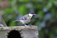 Great tit perched on a box. Royalty Free Stock Photos