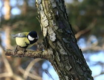 Great tit Royalty Free Stock Image
