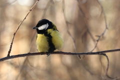 Great tit Stock Photos