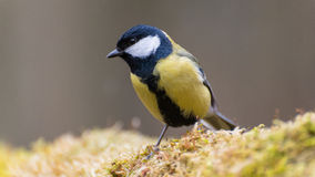 Great tit. Perched on a branch covered with moss stock photo