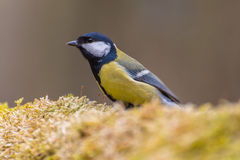 Great tit. Perched on a branch covered with moss royalty free stock photo