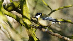 A Great Tit Perched on a Branch. In a tree royalty free stock photography