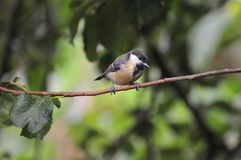 Great tit perched on a branch. Royalty Free Stock Image