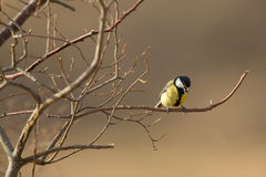 Great tit perched on a branch, singing Royalty Free Stock Photos