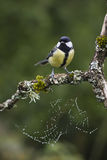 Great tit perched on a branch, Vosges, France Stock Photography