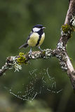Great tit perched on a branch, Vosges, France Stock Photos