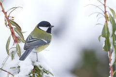 Great tit perched on a branch, Vosges, France Royalty Free Stock Photos