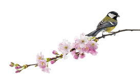 Great tit perched on a flowering branch, Parus major, isolated o Stock Images