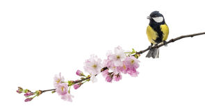 Great tit perched on a flowering branch, Parus major, isolated o Royalty Free Stock Photography