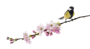 Great tit perched on a flowering branch, Parus major, isolated o Stock Photos