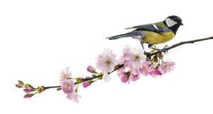 Great tit perched on a flowering branch, Parus major, isolated o. N white stock image