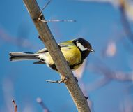 Great tit perched Stock Photography