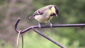 Great Tit perched and hopping on a metal rail. stock footage