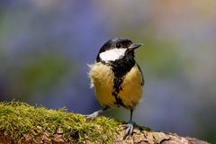 Great Tit Perched with Moss and Vivid Colors Stock Image