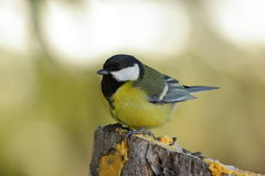 Great tit perched on a stump in the garden Stock Image
